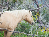 Portrait of palomino stallion of quarterhorse breed.  — Foto Stock