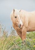 Portrait of palomino stallion of quarterhorse breed — Foto Stock