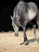 Running young arabian filly isolated  at black — Stock Photo