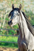 Portrait of young arabian filly — Stock Photo