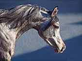 Portrait of young arabian filly in movement — Stock Photo