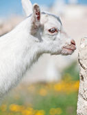 Portrait of little white  goat  — Stock Photo