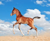 Foal little horse run trot isolated on white — Stock Photo