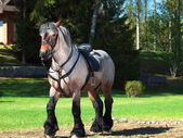 A full body shot of a Belgian draught horse. — Stock Photo