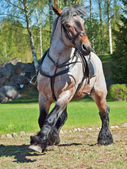 running Belgian draught horse. — Stock Photo