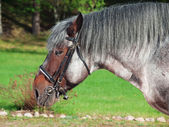 Portrait of Belgian draught horse. — Stock Photo