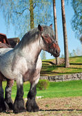 Belgian draught stallion. — Stock Photo