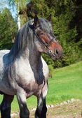 Portrait of Belgian draught stallion. — Stock Photo