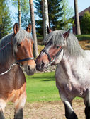 Portraits of Belgian draught horses. — Stock Photo