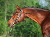 Portrait of bay sportive horse — Stock Photo