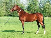 Exterior of  Akhal teke horse  — Stock Photo