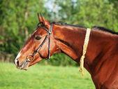 Portrait of  Akhal teke horse  — Stock Photo