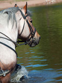 Portrait of Belgian draught horse in lake. — Stock Photo