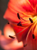 Extreme macro shot. Abstract background with pistil and stamen r — Stok fotoğraf