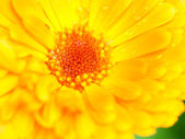 Orange flower of calendula. Background. Close-up.  — Stock Photo