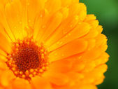 Orange flower of calendula with dew. Background. Close-up. — Stock Photo