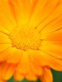Orange flower of calendula with dew. Background. Macro — Stock Photo