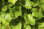 Jonge wijnstok in de wijngaard — Stockfoto