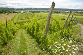 Vineyard in Quebec — Stock Photo