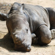 Постер, плакат: Sleeping baby rhino