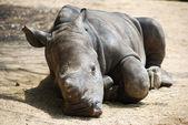 Sleeping baby rhino — Stock Photo