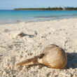 Cuban Rattle on a sand - Stock Photo