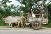 Oxen pulling the cart — Stock Photo