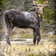Stock Photo: Wild Moose