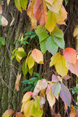 Autumn leafs ivy on tree bark — Stock Photo