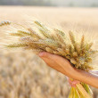 Ripe ears wheat in woman hands - Stok fotoğraf
