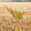 Stock Photo: Ripe ears wheat in woman hands. Concept of abundance