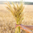 Ripe ears wheat in woman hands close-up — Stock Photo