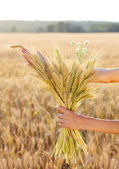 Ripe ears wheat in woman hands. Concept of abundance — Stock Photo