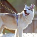 Portrait of Siberian Husky backlit — Stock Photo #45728567