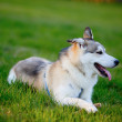 Portrait of Siberian Husky lying in the green grass — Stock Photo #45728593