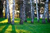 White Birches in sunny park — Stock Photo