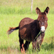 Donkey eating grass in a field - Photo