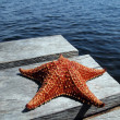 Starfish on a dock - Photo