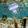 Warty jellyfish near water surface - Photo