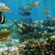 Royalty-Free Stock Photo: Panorama in a coral reef with shoal of fish