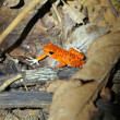 Strawberry poison dart frog - Stock Photo