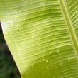 Banana leaf with water droplets — Stock Photo