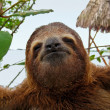 Sloth funny face — Stockfoto