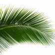 Leaf of coconut palm tree isolated — Stock Photo