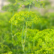 Stock Photo: Dill closeup