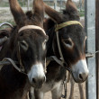 Stock Photo: Donkeys in paddock