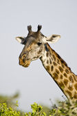 Portrait of a giraffe Giraffa, Tanzania — Stock Photo