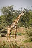 Giraffe camelopardalis — Stock Photo