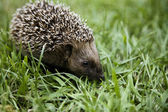 Hedgehog walking on grass — Stock Photo
