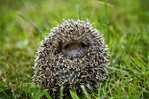 Hedgehog sitting on grass — Stock Photo